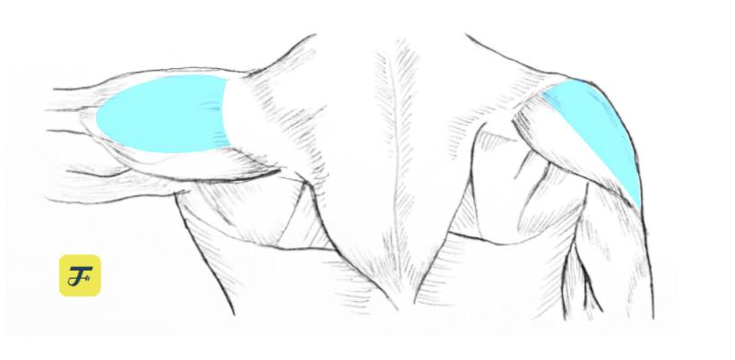 肩膀肌群 三角肌中束