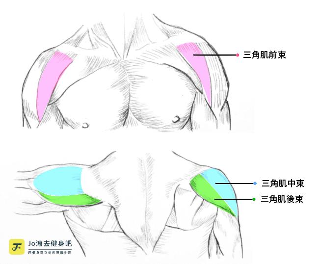 肩膀肌群 三角肌前束、中束、後束