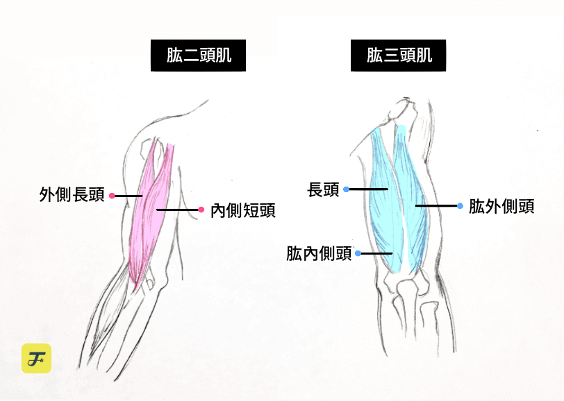 肱二頭肌肌群、肱三頭肌肌群